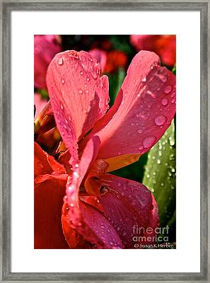 Tropical Rose Canna Lily Framed Print by Susan Herber