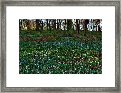 Trout Lilies On Forest Floor Framed Print by Steve Gadomski