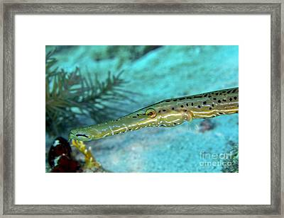 Trumpetfish Aulostomus Maculatus Framed Print by Terry Moore
