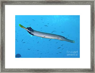 Trumpetfish Framed Print by Sami Sarkis