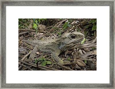 Tuatara Wellington New Zealand Framed Print by Piotr Naskrecki