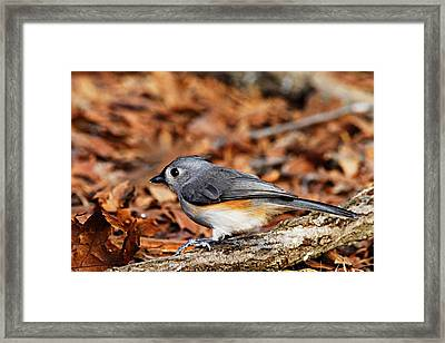 Tufted Titmouse Framed Print by Larry Ricker