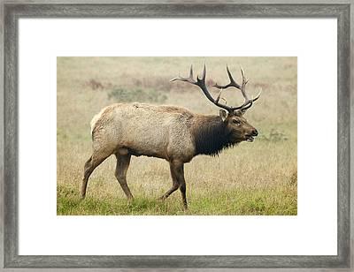 Tule Elk Bull Bugling During Rut Point Framed Print by Sebastian Kennerknecht