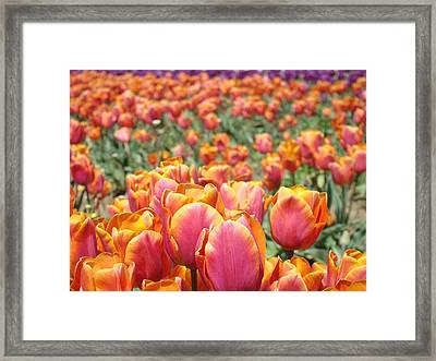 Tulip Flowers Festival Art Prints Pink Orange Tulips Framed Print by Baslee Troutman