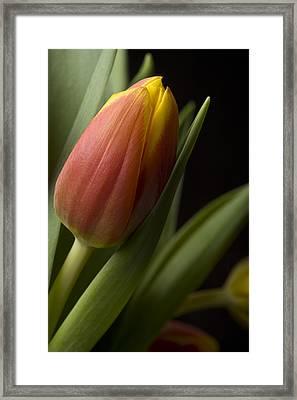 Tulip On Black Framed Print by Al Hurley