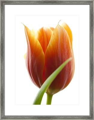 Tulip Picture Framed Print by Falko Follert