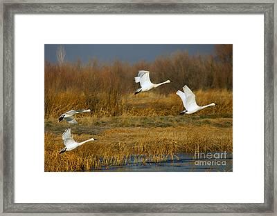 Tundra Flight Framed Print by Mike  Dawson