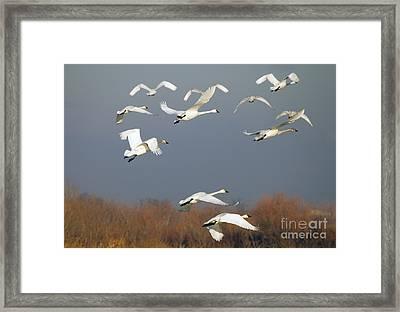Tundra Swan Takeoff Framed Print by Mike  Dawson