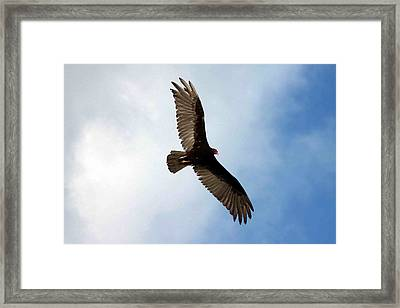 Turkey Vulture In Flight Framed Print by Joe Myeress