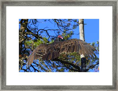 Turkey Vulture With Wings Spread Framed Print by Sharon Talson