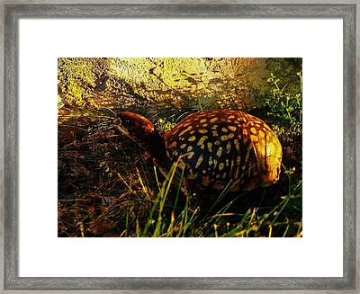 Turtle  Framed Print by Maria Blumberg