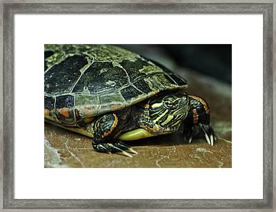 Turtle Neck Framed Print by LeeAnn McLaneGoetz McLaneGoetzStudioLLCcom
