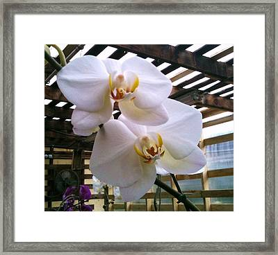 Twin Beauties Framed Print by Shawn Hughes
