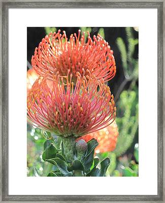 Twin Pincushions Framed Print by Vijay Sharon Govender