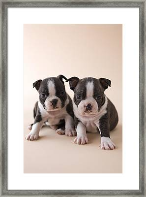 Two Boston Terrier Puppies Framed Print by Mixa