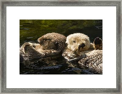 Two Captive Sea Otters Floating Back Framed Print by Tim Laman