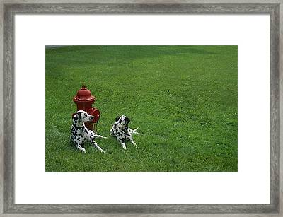Two Dalmatians Sit On Green Grass Framed Print by Nadia M.B. Hughes
