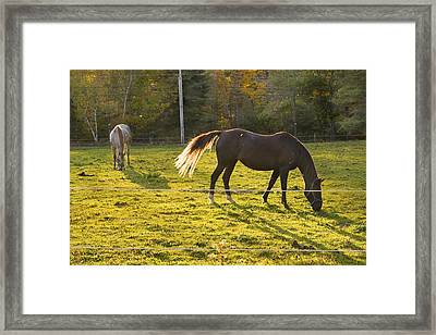 Two Horses Grazing In Back Lit Field Autumn Maine Framed Print by Keith Webber Jr