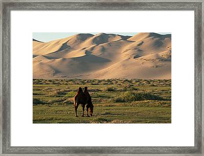 Two Humped Bactrian Camel In Gobi Desert Framed Print by Dave Stamboulis Travel Photography