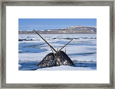 Two Narwhals Rise Out Of The Water Framed Print by Paul Nicklen