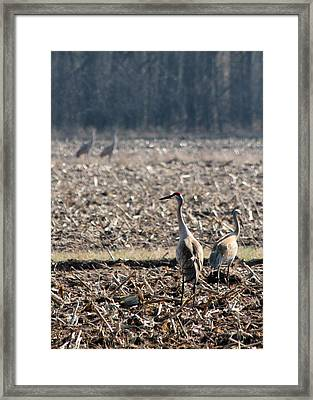 Two Pairs Of Sandhill Cranes Framed Print by Mark J Seefeldt