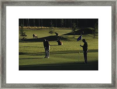 Two People Play Golf While Elk Graze Framed Print by Raymond Gehman