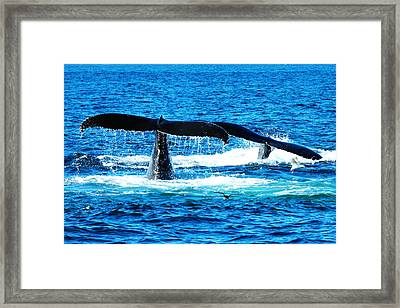 Two Whale Tails Framed Print by Paul Ge