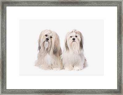 Two White Lhasa Apso Puppies St. Albert Framed Print by Corey Hochachka