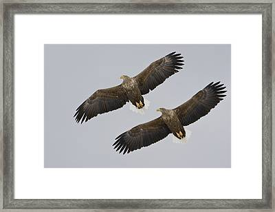 Two White-tailed Eagles In Flight Side Framed Print by Roy Toft