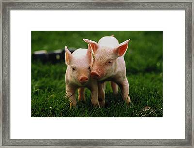 Two Yorkshire Piglets (sus Sp) In Field Framed Print by Andy Sacks