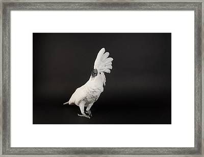 Umbrella Cockatoo Cacatua Alba Framed Print by Joel Sartore