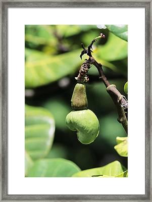 Unripe Cashew Nuts Framed Print by David Nunuk