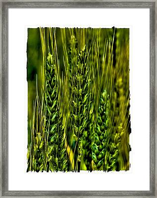 Unripened Wheat Framed Print by David Patterson