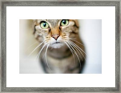 Up Close Brown Striped Cat Framed Print by Charity Burggraaf