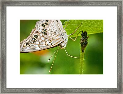 Upclose Moth_1 Framed Print by Lisa  Spencer