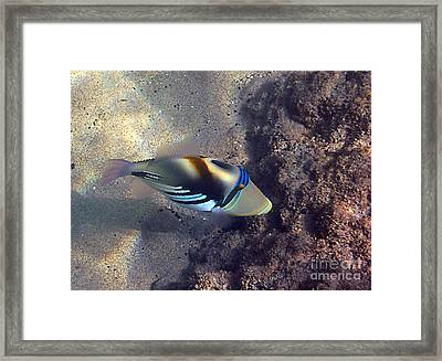 Upclose With A Lagoon Triggerfish Framed Print by Bette Phelan