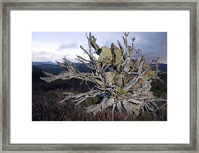 Uprooted Scot's Pine Tree Framed Print by Duncan Shaw