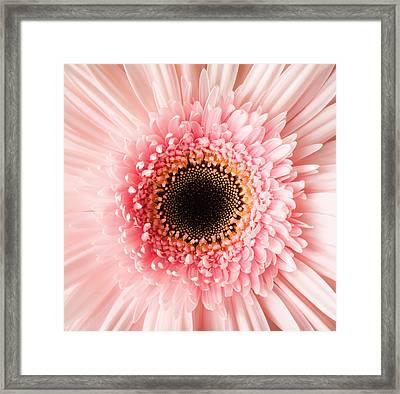 Usa, Utah, Lehi, Close-up Of Pink Daisy Framed Print by Mike Kemp