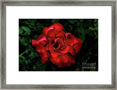 Valentine Rose Framed Print by Mariola Bitner