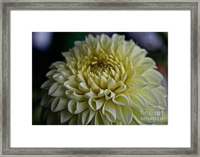 Vanilla Dahlia Framed Print by Susan Herber