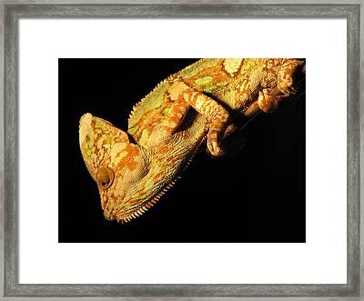 Veiled Chameleon Framed Print by Samuel Sheats