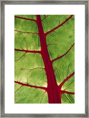 Veins In Chard Leaf Framed Print by David Nunuk