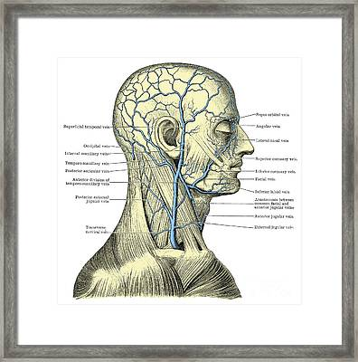 Veins Of The Head And Neck Framed Print by Science Source