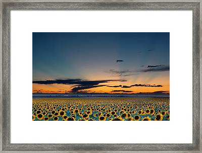 Vibrant Sunflower Field In Colorado Framed Print by Victoria Chen