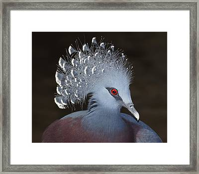 Victoria Crowned Pigeon Framed Print by MiracleOfCreation