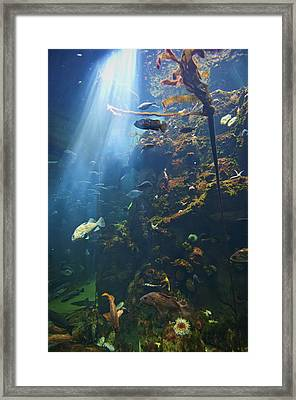 View Of Fish In An Aquarium In The San Framed Print by Laura Ciapponi