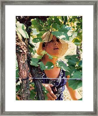 Vineyard Harvest Framed Print by Padre Art