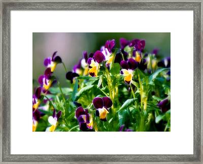 Viola Parade Framed Print by Karen Wiles