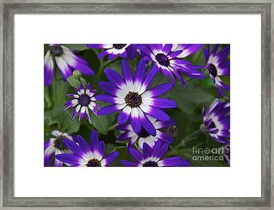 Violet Bicolor Framed Print by Sean Griffin