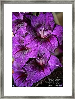 Violet Glads Framed Print by Susan Herber